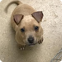 American Pit Bull Terrier Mix Dog for adoption in New Castle, Delaware - Ginger