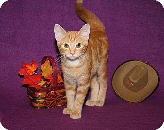 Domestic Shorthair Cat for adoption in Marietta, Ohio - Lil Red (Neutered)