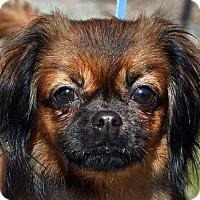 Adopt A Pet :: PUMPKIN PIE - New Haven, CT