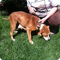 Patterdale Terrier (Fell Terrier)/Beagle Mix Dog for adoption in Davisburg, Michigan - Daisy pets 4 vets