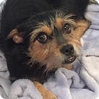 Adopt A Pet :: Lollie - Aurora, CO