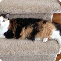 Calico Cat for adoption in Merrifield, Virginia - Thumbelina