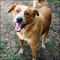 Nova Scotia Duck-Tolling Retriever Mix Dog for adoption in Shreveport, Louisiana - Chance