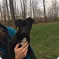 Adopt A Pet :: Puppy Laken - Brattleboro, VT