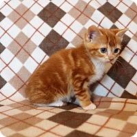 Adopt A Pet :: Selma (TLC Kitten #7) - Mackinaw, IL