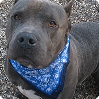 Pit Bull Terrier Mix Dog for adoption in Voorhees, New Jersey - Blue
