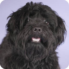 Scottie, Scottish Terrier/Poodle (Miniature) Mix Dog for adoption in Chicago, Illinois - Scotty