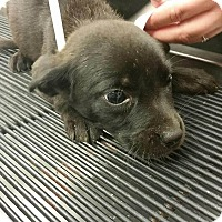 Adopt A Pet :: Daryl (Walking Dead pup) - Cumming, GA