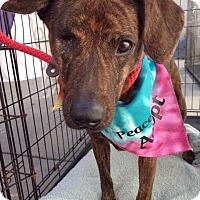 Adopt A Pet :: Feisty Fergie - Houston, TX