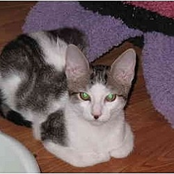 Photo 2 - Domestic Shorthair Cat for adoption in Port Republic, Maryland - Smitty
