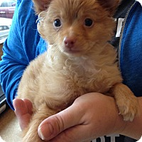 Adopt A Pet :: Rascal - Fairview Heights, IL