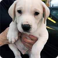Adopt A Pet :: Journey Pup - Rolie - Adopted! - San Diego, CA