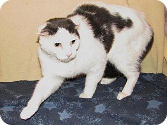 Domestic Shorthair Cat for adoption in Harrisburg, Pennsylvania - CJ (adult male)