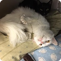 Adopt A Pet :: Cotton Candy - McDonough, GA