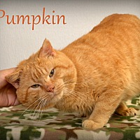 Adopt A Pet :: Pumpkin - Chicago, IL
