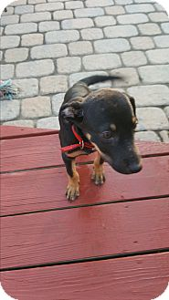 Manchester Terrier/Labrador Retriever Mix Puppy for adoption in East Windsor, New Jersey - Toby