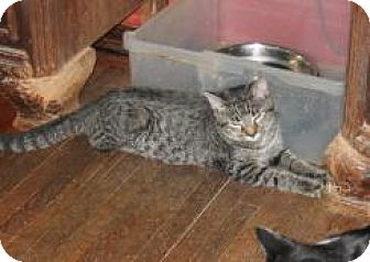 American Shorthair Cat for adoption in Brooklyn, New York - Julie