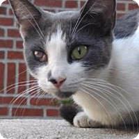 Domestic Shorthair Cat for adoption in New York, New York - Screech