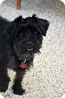 Schnauzer (Miniature) Mix Dog for adoption in Bradenton, Florida - Will