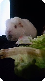 Guinea Pig for adoption in Aurora, Colorado - Godiva