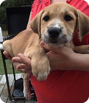 Labrador Retriever/Pointer Mix Puppy for adoption in Arlington, Massachusetts - Ashley