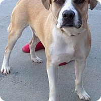 Adopt A Pet :: Sky - Sterling Heights, MI