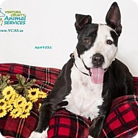 Pit Bull Terrier Dog for adoption in Camarillo, California - *CALISTA