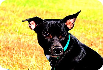 Schipperke/Labrador Retriever Mix Dog for adoption in Glastonbury, Connecticut - Waylon~ meet me!