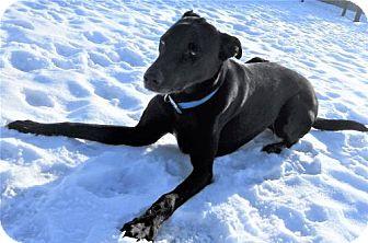 Greyhound/Labrador Retriever Mix Dog for adoption in Siren, Wisconsin - Jaden
