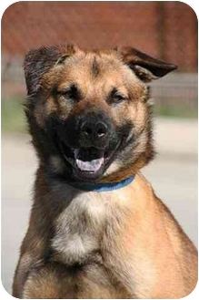 Chow Chow/Shepherd (Unknown Type) Mix Dog for adoption in West Los Angeles, California - Vinny