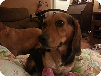 Beagle/Hound (Unknown Type) Mix Dog for adoption in Indianapolis, Indiana - Molly - Hannah