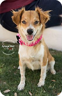 Chihuahua Mix Dog for adoption in Gilbert, Arizona - Daisy