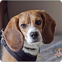 Adopt A Pet :: Linus - Yardley, PA