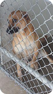 Black Mouth Cur/Labrador Retriever Mix Dog for adoption in Cuero, Texas - Shy Girl