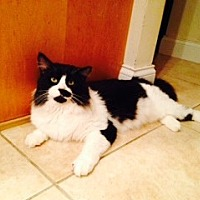 Domestic Mediumhair Cat for adoption in St. Cloud, Florida - The Mayor