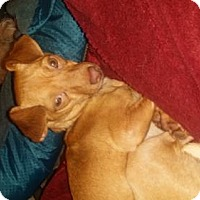 Miniature Pinscher/Chihuahua Mix Dog for adoption in Edmond, Oklahoma - Red