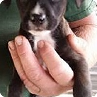 Adopt A Pet :: Corsac Fox - Gainesville, FL