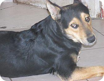 German Shepherd Dog/Retriever (Unknown Type) Mix Dog for adoption in San Ysidro, California - Bones