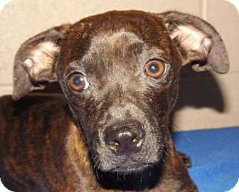 Dachshund/Rat Terrier Mix Dog for adoption in Oxford, Mississippi - Luke - Foster Care