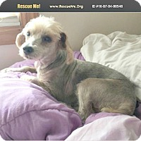 Adopt A Pet :: Biscuit - Wallingford Area, CT