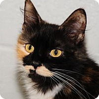 Domestic Shorthair Cat for adoption in Gettysburg, Pennsylvania - Paula