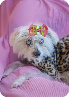 Chinese Crested Mix Dog for adoption in Chicago, Illinois - Karma