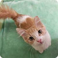 Domestic Mediumhair Kitten for adoption in Phoenix, Arizona - Ziggy