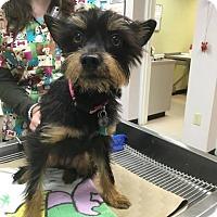 Adopt A Pet :: Doodle - Bernardston, MA