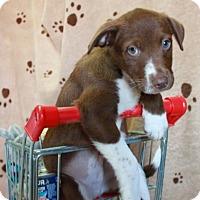Adopt A Pet :: Launce - Foster, RI