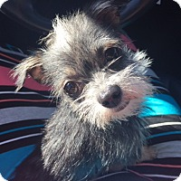 Adopt A Pet :: Iggy - Las Vegas, NV