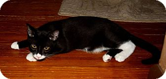 Domestic Shorthair Kitten for adoption in Saint Augustine, Florida - Tigger