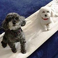 Bichon Frise Dog for adoption in Scottsdale, Arizona - Spike and Lulu