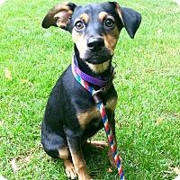 Adopt A Pet :: Shakara in CT - Manchester, CT