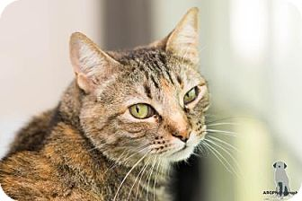 Domestic Shorthair Cat for adoption in Santa Fe, Texas - Judy